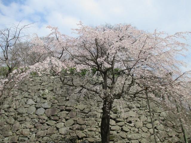 舞鶴公園,桜まつり