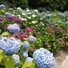 筑紫野の天拝公園の紫陽花
