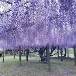 河内藤園の開花状況