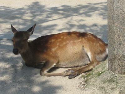 宮島桟橋前広場の鹿