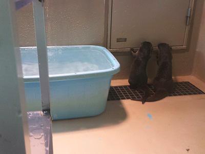 宮島水族館(みやじマリン)のカワウソ