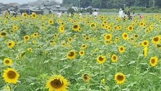 道の駅原鶴のひまわり畑