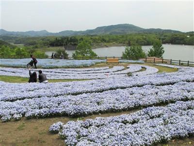 大分農業文化公園のネモフィラ1